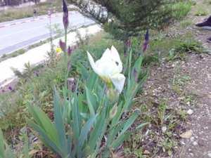 Constantine – L'iris à fleur blanche à Djenane Dardar est en fleur