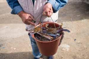 Planète (Maghreb) - Tunisie, le crabe «Daech», une espèce invasive, bouleverse le quotidien des pêcheurs