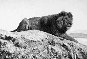 أيراذ ( أسد الأطلس ) ... ملك الجبال