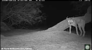 Le guépard saharien, espèce en voie de disparition, réapparait dans le parc de l'Ahaggar... !
