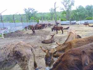 Le parc animalier de Braptia à El Kala: On achève bien les ânes