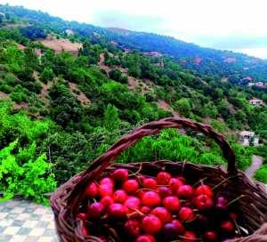 Culture de la cerise au massif de Collo (Skikda): La ténacité des habitants de Tabbalout et Afensou