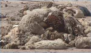 ROUIBA (ALGER) - Plus de 13.000 peaux de mouton collectées