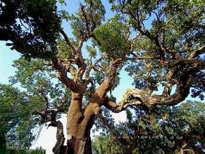 Étude des caractéristiques dendrométriques et productivité du chêne-liège de la forêt de Hafir (région de Tlemcen, Algérie occidentale