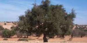 Tindouf (Algérie) - Plaidoyer pour la préservation de l'arganier