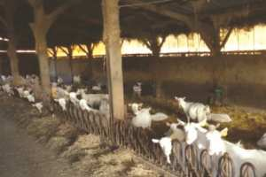 Algérie - CENTRE DE FORMATION ET DE VULGARISATION AGRICOLE DE MÉDÉA: Des éleveurs formés à la reproduction des caprins laitiers