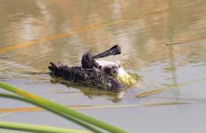 Aïn-el-Assel (El-Tarf ) - Génocide contre des oiseaux du lac Oubeïra