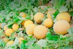 شاب ينتج انواع جديدة من البطيخ باستعمال بذور قديمة بباتنة