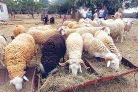 El-Bayadh - Un émissaire du ministère pour rassurer les éleveurs: A/S de l'aliment du bétail