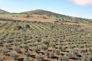 Algérie - 20.000 HA D'OLIVERAIES PRÉVUS À L'HORIZON 2024 À AÏN TÉMOUCHENT: Le développement de l'oléiculture en point de mire