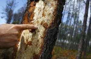 Mécheria (Naâma) - Le scolyte infeste une grande partie de la forêt de Draâ-Aoûd