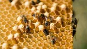 Planète (Amérique Centrale) - A Cuba, les abeilles butinent heureuses et leur miel ravit l'Europe