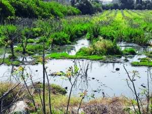 Chlef - Rejets d'eaux usées dans un verger...: Des poiriers inondés