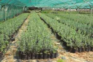 El Aouana (Jijel) - ELLE PRODUISAIT 15.000 PLANTS D'OLIVIER PAR ANNÉE: La pépinière de Kissir à l'arrêt