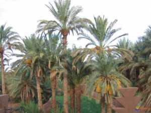 Ouargla - Oasis urbaine de Ouargla: Des jardins familiaux pour sauver l'ancienne palmeraie