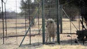 Planète (Afrique) - L'Afrique du Sud va interdire l'élevage de lions en captivité pour la chasse