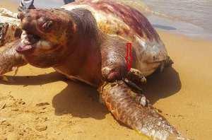 EL-AOUANA (JIJEL) - Une tortue de mer géante découverte morte Espéce Caretta caretta