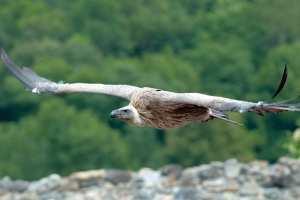 Chemini (Béjaïa) - DISPARUS DEPUIS PLUSIEURS ANNÉES: Les vautours reviennent dans les montagnes de l'Akfadou