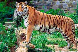 Sétif - Naissance d'un bébé tigre du Bengale au parc zoologique