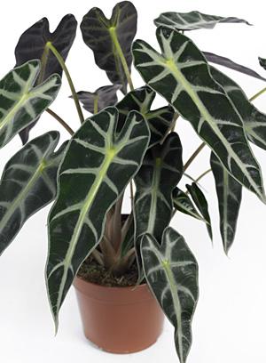L 39 alocasia ou oreilles d 39 l phant la plante du mois de for Alocasia d interieur