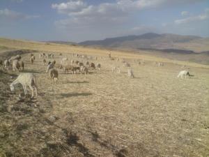 تربية الماشية بالقرب من برج بوعريريج