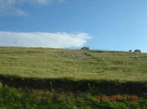 رعي الأبقار بضواحي برج بوعريريج