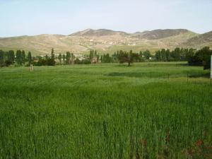 حقول القمح بضواحي برج بوعريريج