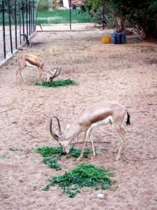 غزلان بحديقة الحيوانات لعين أبربار