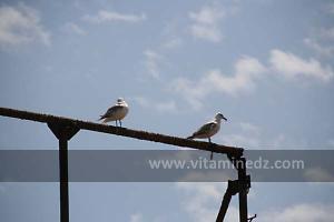 Mouettes à la de Plage de Sbiat, entre Bouzedjar et Sassel