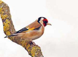 Ouyahia a signé un décret exécutif protégeant cet oiseau: Saisie de 500 chardonnerets élégants à Guelma