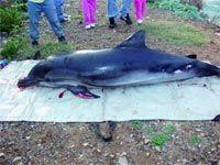 Un dauphin �choue sur la plage d�A�n Benian