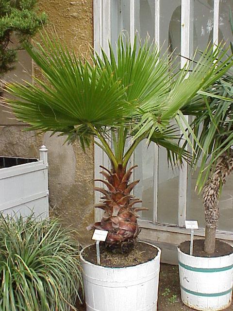 Palmier plantation - Planter un camelia en pleine terre ...