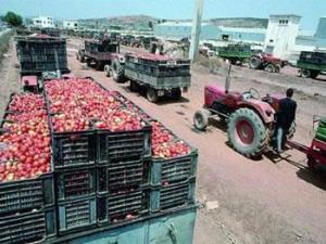 Annaba - 15 % de perte de la production de tomate industrielle en 2012