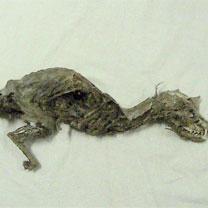 Tissemsilt - D�couverte d'ossements d'un myst�rieux animal