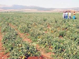 Annaba - Tomate industrielle: Une campagne tardive et d'autres craintes