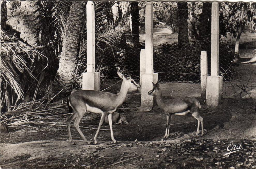 algerie colomb bechar les gazelles du jardin public sorte de zoo. Black Bedroom Furniture Sets. Home Design Ideas