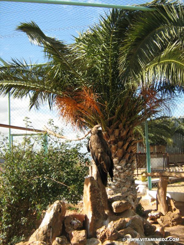 Aigle royal au Zoo de Tlemcen