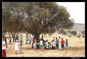 Sous cet olivier centenaire, les habitants d'el hajra observent la fantasia