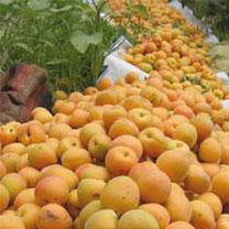 Batna - La production d'abricots en nette augmentation