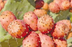 Gastronomie du M'Zab: Les raquettes des figues de barbarie refont surface