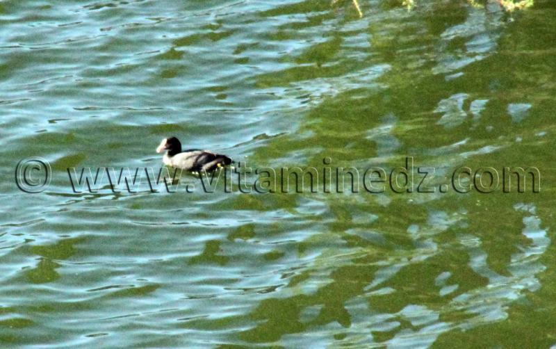 Canard sauvage au barrage de Hammam Boughrara