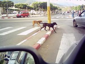 Prolifération de chiens errants et de rongeurs à Mouzaïa (Blida): 600 personnes vaccinées pour morsures