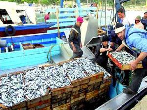 Ténès - La sardine à 70 DA le kilo