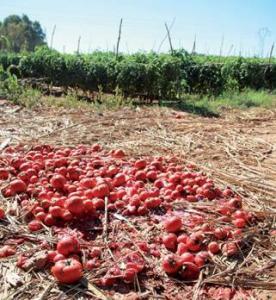 Mostaganem - Agriculture: Un insecte (Nesidiocoris tenuis) ravage les champs de tomates
