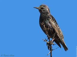 La Soummam - Les oiseaux migrateurs sont là Grives et étourneaux