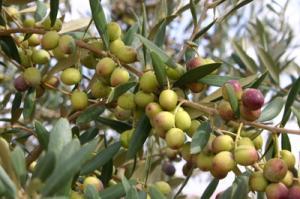 Bouati Mahmoud (Guelma) - Place à l'olivier
