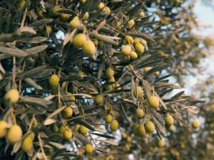 Sétif - Filière oléicole: La campagne bat son plein