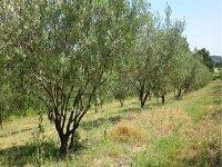 Un programme de plantation de 2.600 hectares d'oliviers à Souk Ahras