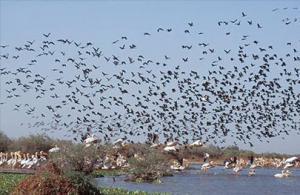 Ouargla - Plus de 5.800 oiseaux migrateurs recensés