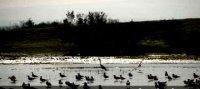 Ornithologie - Baisse du nombre d'oiseaux d'eau migrateurs dans la région d'Oran